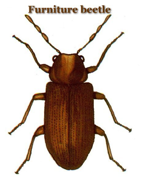 Adult Furniture beetles are found all over the world  are about an eighth  of an inch long  with mottled yellow  white and black scales. Are your mounts and taxidermy infested with bugs    Bowsite com